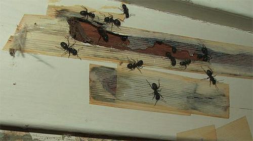 В одной квартире может быть одновременно несколько гнезд муравьев