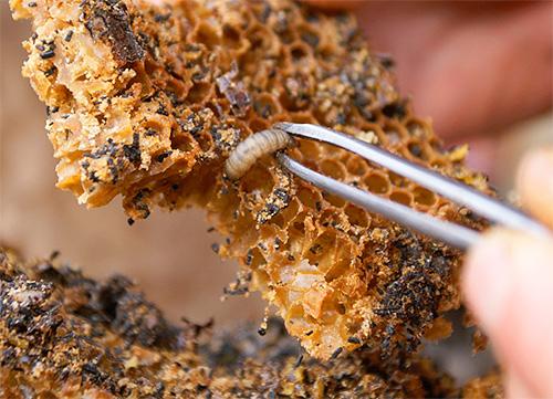 На фото показана личинка восковой моли