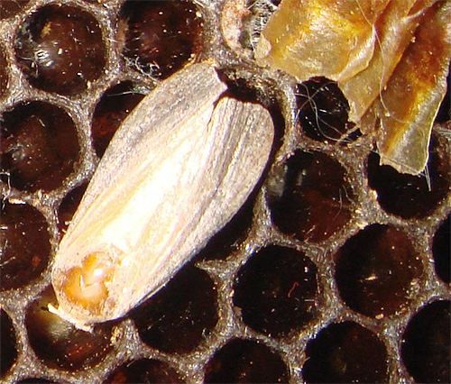 Огневка, или восковая моль, живет рядом с пчелами, а ее личинки используются для приготовления знаменитого экстракта.
