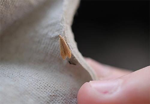 Мебельная моль, точнее, ее личинки, способна питаться полусинтетическими материалами