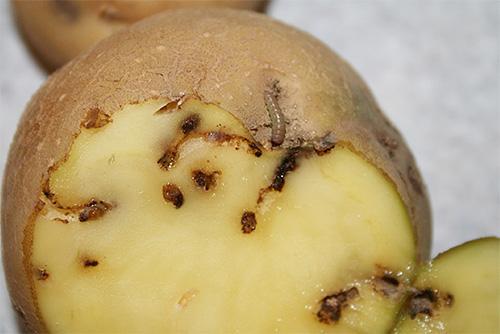 Личинки картофельной моли прогрызают в клубнях ходы