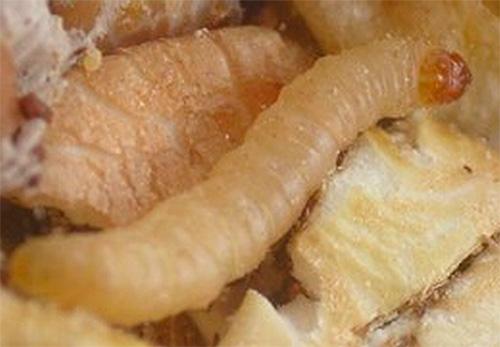 Народные средства от моли отпугивают бабочек, но не действуют на личинок