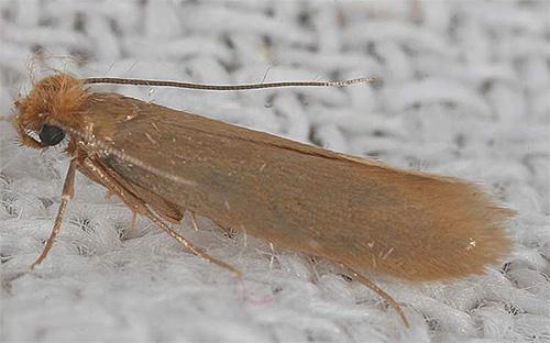 На фото - бабочка шерстяной моли