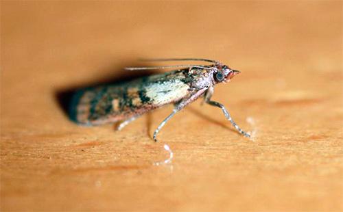 После уничтожения личинок моли обязательно нужно вывести всех бабочек на кухне