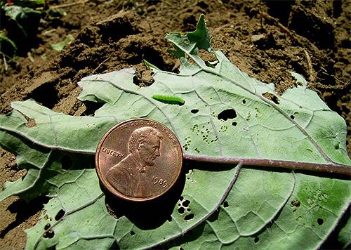 Поврежденный лист капусты и гусеница на нем