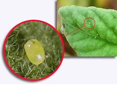 Самка откладывает яйца небольшими группами