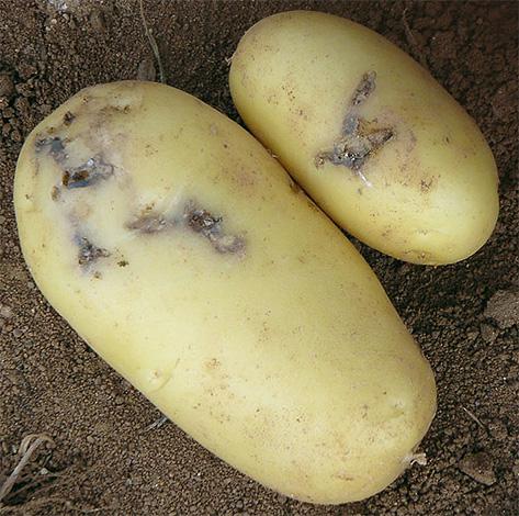 Клубень, поврежденный гусеницами картофельной моли