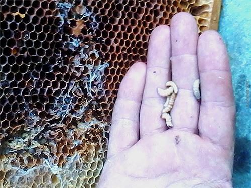 Личинки пчелиной моли