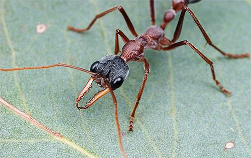 Муравьи-бульдоги - одни из самых опасных насекомых на планете