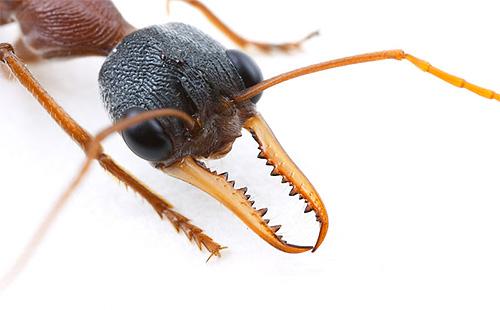 Голова муравья-бульдога
