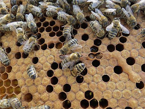 Сегодня настойку из личинок пчелиной моли используют для лечения самых различных заболеваний. Действительно ли это средство эффективно?