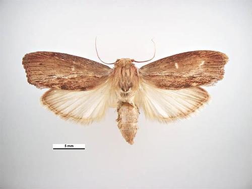 Бабочка пчелиной моли (другое название - восковая моль)