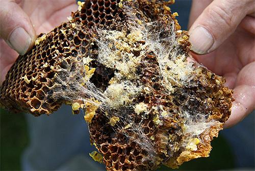 Вышедшие из яиц личинки опутывают пчелиные соты плотным слоем своего шелка