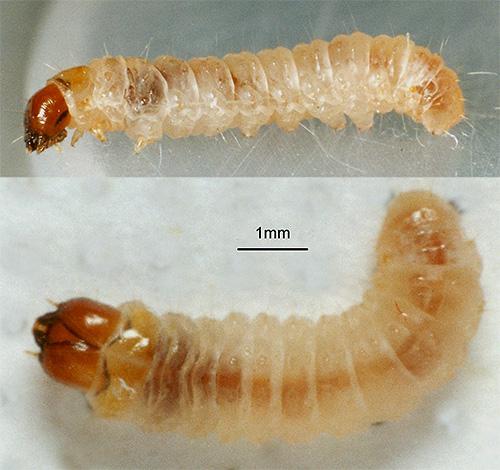 У гусениц моли имеется мощный грызущий аппарат, поэтому именно они, а не бабочки моли повреждают продукты и вещи