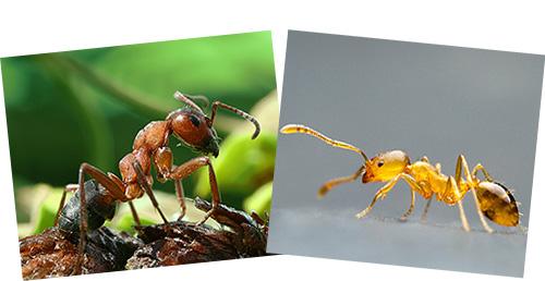 Рыжий лесной муравей (слева) и рыжий домашний (справа) существенно друг от друга отличаются