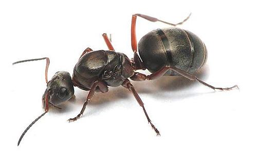 Обычно в муравейнике у рыжих муравьев только одна матка