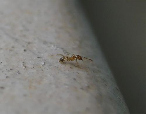 А вот рыжего домашнего муравья трудно разглядеть даже вблизи
