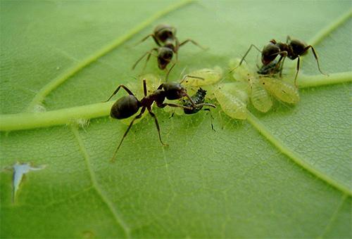Лесные мураьви любят полакомиться сладкой падью, выделяемой тлей