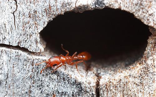 Продолжительность жизни муравьев во многом зависит от их вида и выполняемых функций