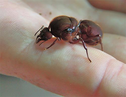 Матка муравьев живет обычно гораздо дольше других членов колонии