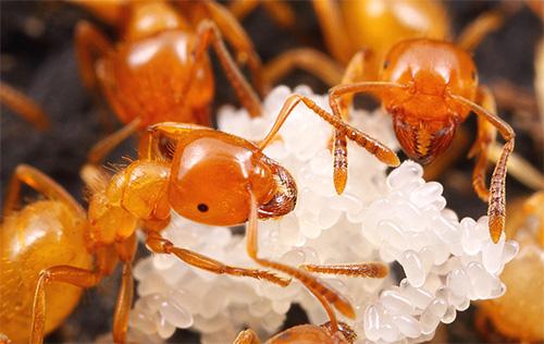 В начале своей жизни фараоновы муравьи занимаются уходом за личинками
