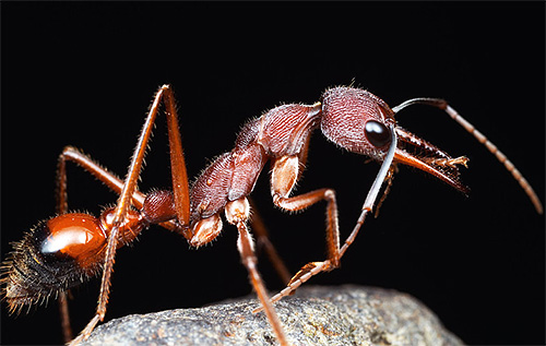 Фото муравья-бульдога - одного из самых долгоживущих муравьев