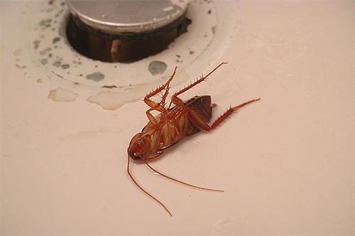Препарат Цифокс эффективен не только против клопов, но и против тараканов