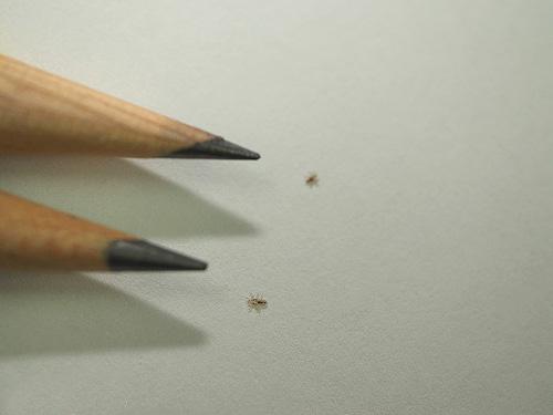Бельевые вши, и особенно их личинки, весьма невелики в размерах
