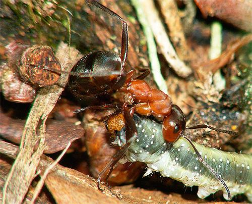 Рыжий лесной муравей тащит гусеницу в муравейник
