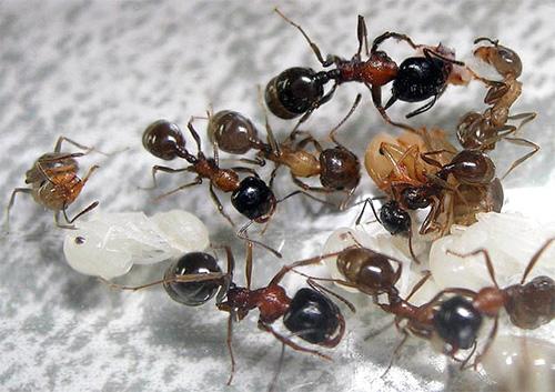 Муравьи жнецы и их личинки