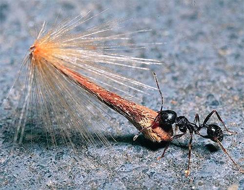 Муравьи жнецы запасают семена в огромных количествах