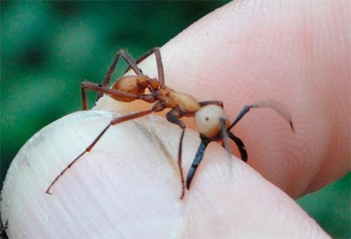 На фотографии кочевой муравей кусает человека за палец