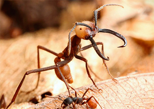 Кочевые муравьи являются весьма крупными насекомыми