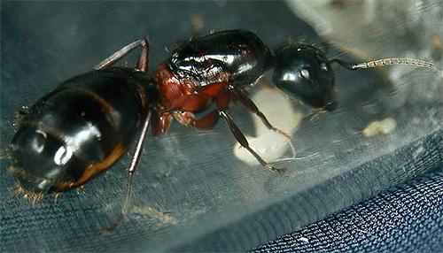 Матка красногрудого муравья-древоточца