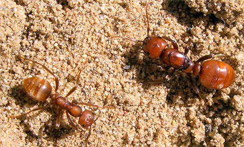 В колонии муравьев-амазонок нет рабочих особей: есть лишь матки и солдаты