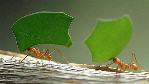 Фотография муравьев-листорезов