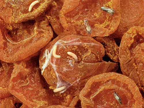 Сушеные абрикосы, пораженные пищевой молью