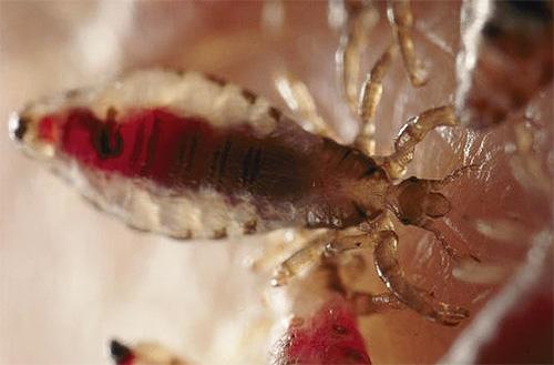 Головная вошь с кровью в брюшке немного напоминает личинку постельного клопа