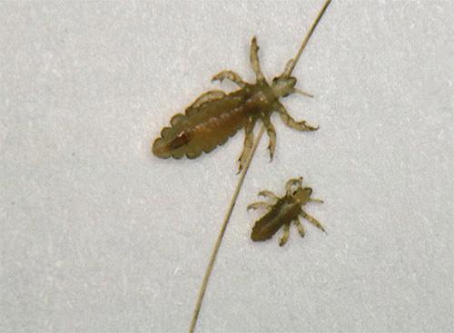 Взрослая головная вошь и личинка рядом с ней