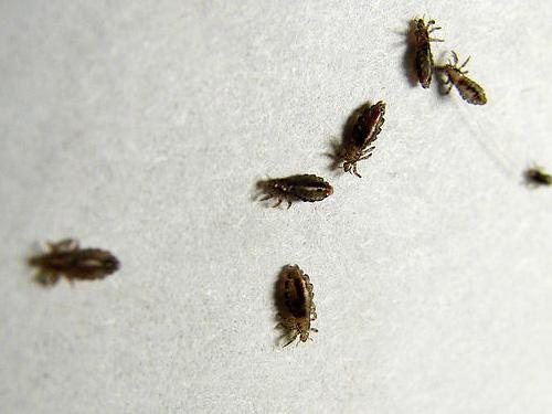 Современные инсектициды быстро парализуют вшей и в итоге убивают их