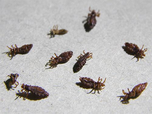 Именно сочетание средства от вшей и последующее вычесывание насекомых и гнид из волос дает особенно сильный эффект при борьбе с паразитами
