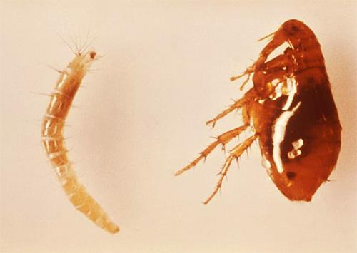 Так выглядят личинка (слева) и взрослая кошачья блоха (справа)