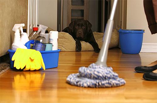 После обработки квартиры от блох нужно провести влажную уборку и проветривание