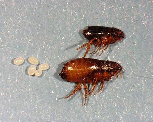 На фото видны взрослые особи блох и их яйца