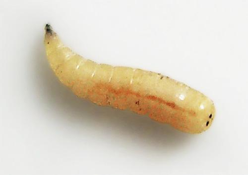 А вот так выглядит личинка мухи (опарыш) при увеличении
