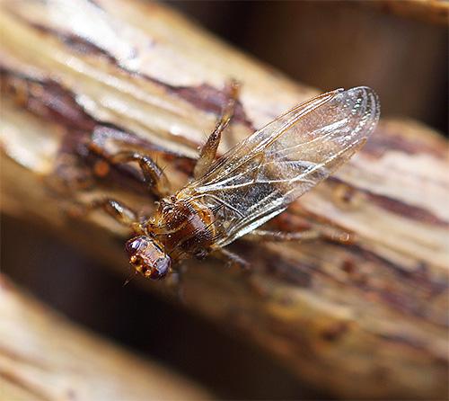 Оленья кровососка (иначе, лосиная блоха) с крыльями