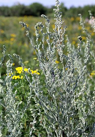 травы против паразитов в организме