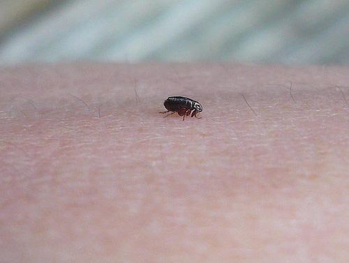 Если рядом с блохами разложить полынь, то насекомые хотя и не погибнут, но постараются покинуть это место