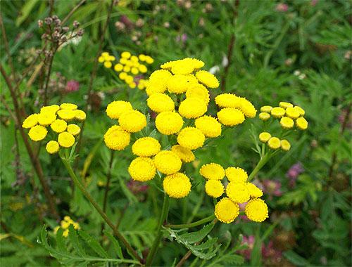 Среди растений, запахов которых боятся блохи, пижма и полынь особенно эффективны
