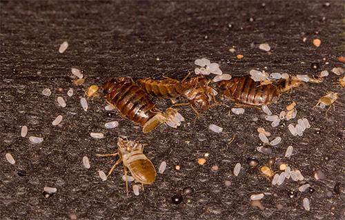 Из выживших яиц клопов через некоторое время после дезинсекции вылупляются личинки, которых также нужно уничтожить